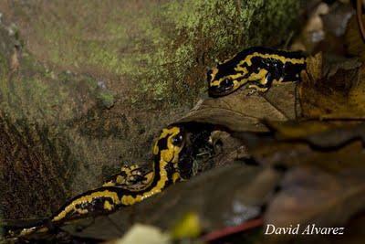Las salamandras de la facultad