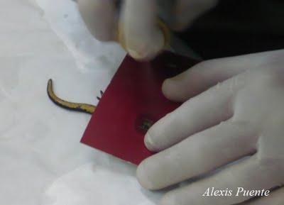 Marcaje de anfibios con microchips