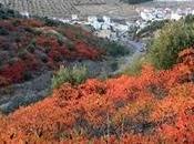 Zumaque, Rhus coriaria cultivo abandonado Córdoba.