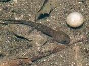Huevos infértiles Salamandra salamandra