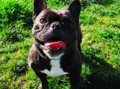 historia Baxter: lucha Bulldog Francés vencer alergia ambiental