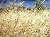 para cosecha cereales Almadén