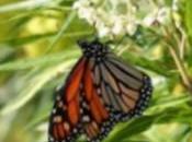 mariposa monarca establecen Andalucía