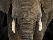 canción totémica elefante