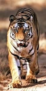 Bengal_Tiger_711865a[1]