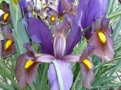 Significado Flores Lirio