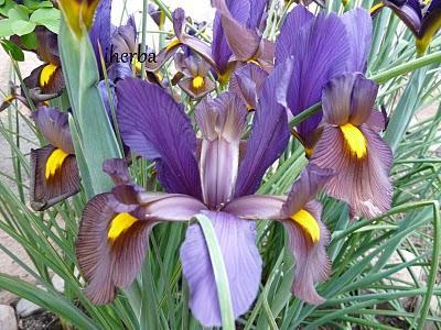 Significado de las Flores - Lirio