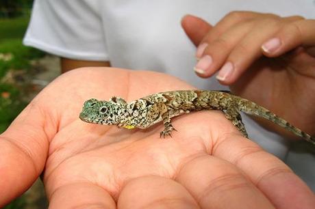 Los Dragones aún existen pero en miniatura (Draco Beccarii)