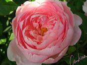 Alnwick Rose: profusión resistencia rosal Austin