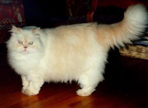 Comentario en El Gato Persa: el rey del sofá por Mundocachorro
