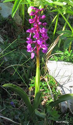 Orquídeas en el Cantábrico