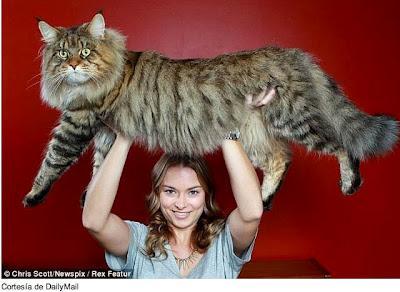 Su tamaño es tres veces mayor que el de un gato normal. R...