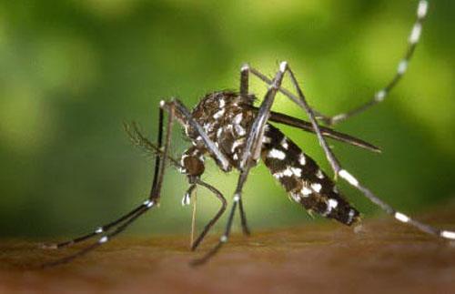 Conocer el mosquito tigre