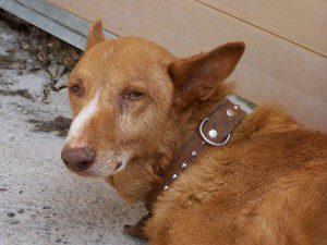 Podenco (7años) tirado y sin moverse en la perrera de Movera. MUY MUY URGENTE!!! (Zaragoza)