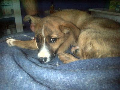 Cachorrita de 2 meses en acogida o adopción: A punto de morir atropellada y envenenada...SOS (CADIZ)