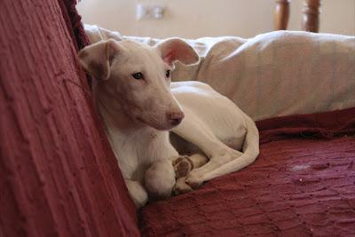 URGENTE!!! Se necesita acogida para cachorrita podenquita blanca preciosa de 6 meses o la darán a un cazador. Valencia.