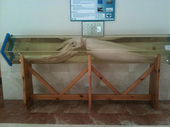 Descubriendo al Kraken (I): El Calamar Gigante