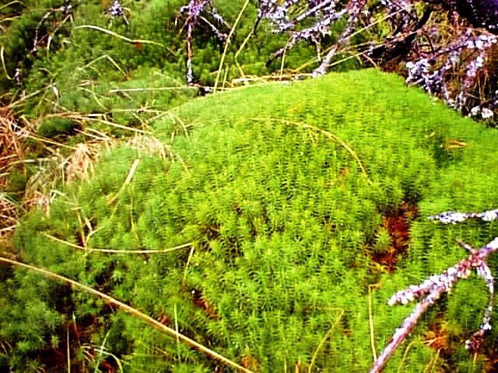 Flora en peligro de extinción en Venezuela Los musgos ( Bryophyta