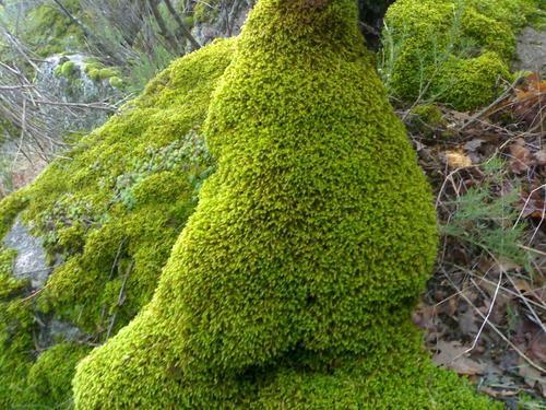 Flora en peligro de extinción en Venezuela: Los musgos ( Bryophyta)