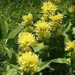 Genciana plantas medicinales