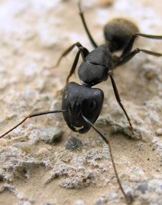 Cuántas veces hemos sido victima de las hormigas? hoy conseguí 50 formas de eliminarlas de manera orgánica. (En el blog del Hortelano yo)
