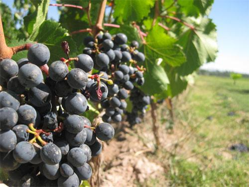 ibarloza 6 Vino Ecológico Ibarloza
