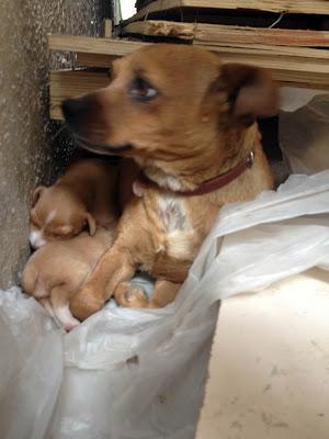 Dos cachorros de tres semanas con su mami en un polígono industrial, hay maderos con clavos. (Murcia).
