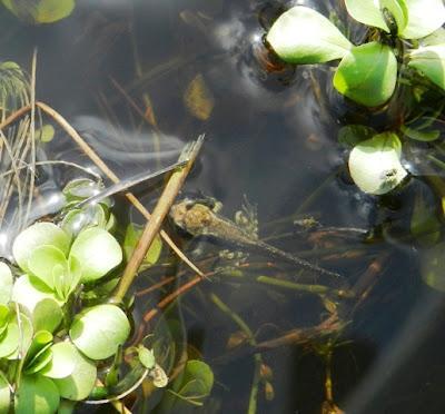 Una nueva generación de ranas