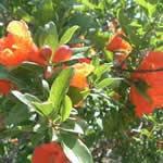 Granado plantas medicinales