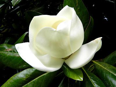 En este jard n de invierno tambi n hay flores en verano - Magnolia grandiflora cuidados ...