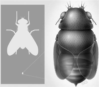 La mosca más pequeña del mundo decapita hormigas y vive en sus cabezas