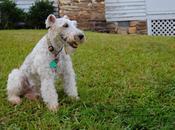 Juguetones Perros Terrier Pelo Duro Wire