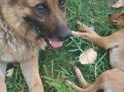 Ayuda para veterinario. Pastor alemán problema patas traseras perrito pequeño desnutrido.