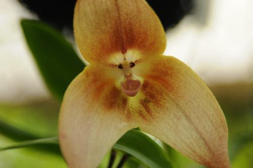 La Orquídea Cara de Mono