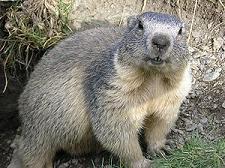 ¿Tienes el metabolismo de una marmota?