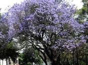 Siembra árbol desde semilla: Jacarandas