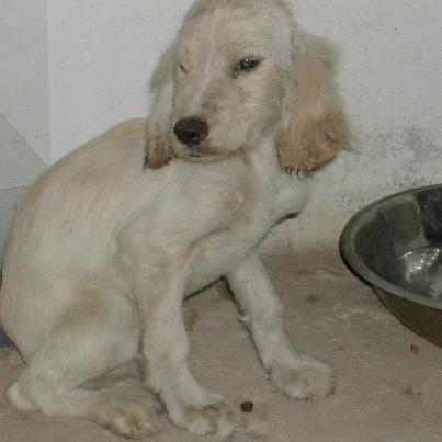 Foto: cachorro de Cocker de 3 o 4 meses macho recogido en los pinos deshidratado y desnutrido al borde de la muerte.  Villanueva de la serena, Badajoz. asociacionanimavillanueva@gmail.com 619112066 / 649011636