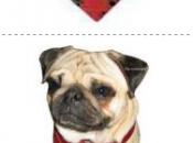 Mantén fresco Bulldog Francés este caluroso verano Cooler-Pañuelo refrescante