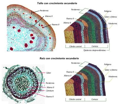Anatomía Y Fisiología Vegetal Iii Estructuras Implicadas En