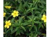 Damiana planta medicinal