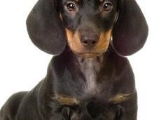 perros Dachshund Teckel comúnmente llamados salchichas