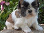 Shih Tzu, razas antiguas perros