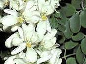 Planta Salvación Moringa