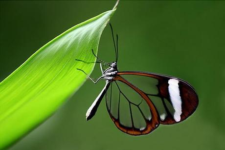 Mariposas de alas transparentes