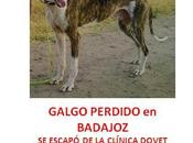 Galgo protectora perdido Badajoz capital.
