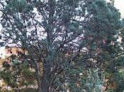 Ciprés Arizona, azul (Cupressus arizonica Greene Cupressus glabra Sudw.)