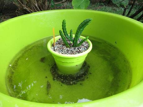 Cultivo de Asclepiadoideae: Stapelias, Huernias, Orbeas,