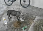 Alma, bull abandonada calle pésimas condiciones.