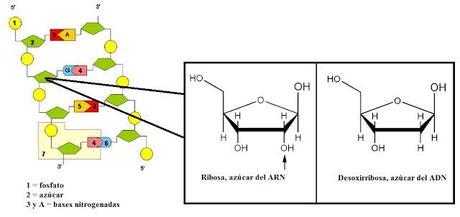 Expresión génica o producción de proteínas