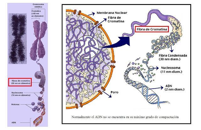 Resultado de imagen para adn de una bacteria